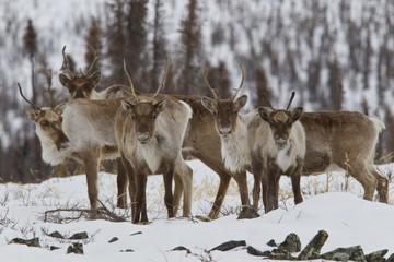 Caribou (Rangifer tarandus), Demspter Highway, Yukon.