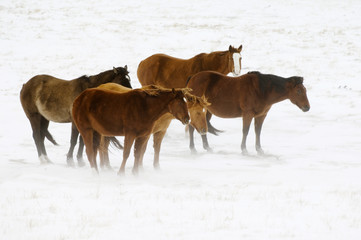 Horses (Equus caballus) wintering outside are fed by the rancher as necessary. Wind blows their manes and tails as well as the surface snow. Pasture highway 800, southwest Alberta, Canada.