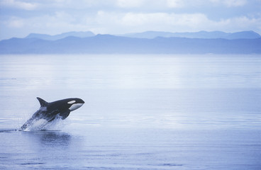 Killer Whale Breaching, British Columbia, Canada.