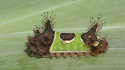 Fotoväggar - Saddleback Caterpillar (Acharia stimulea) on a green leaf