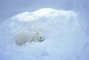 Three-month old polar bear cub (Ursus maritimus) inside natal den, coastal Hudson Bay, Canada.