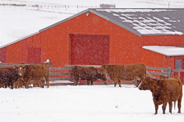 Red Angus (Bos taurus) Females and Calves. Cattle in this area are left outside in the winter. Cows about to give birth may be taken into the barn in cold weather. Once the calf is up and nursing well the pair are turned back outside. Ranchers check their animals two or three times a day to make sure all are healthy. Ranch, southwest Alberta, Canada.