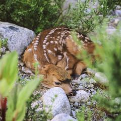Blacktail deer, (Odocoileus hemionus),  fawn, Howe Sound, British Columbia, Canada.