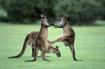 Juvenile western gray kangaroos (Macropus fuliginosus), kick-boxing in practise fighting, Kangaroo Island, Australia