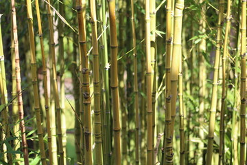 Bamboo Background Green