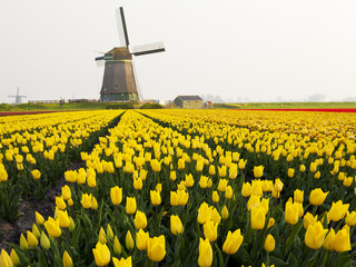 Windmill and Tulip Field near Obdam, North Holland, Netherlands