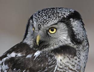 A Northern Hawk Owl, Surnia ulula, at Prince Albert National Park, Saskatchewan, Canada