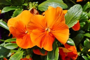 Oranje viooltje violette bloemen