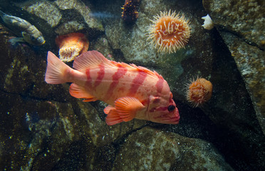 Tiger Rockfish,  Sebastes nigrocinctus, also banded rockfish, and black-banded rockfish, at Shaw Ocean Discovery Centre, an aquarium and marine education centre in Sidney, British Columbia, Canada