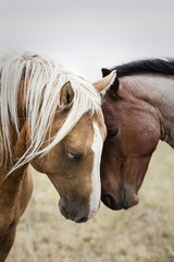 Two affectionate horses, Saskatchewan, Canada