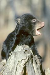 Three-month old black bear cub (Ursus americanus) crying in alarm for its mother, Alberta, Canada