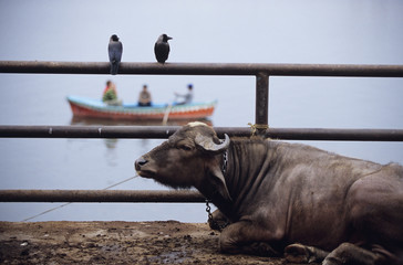 India, Varanasi, Manikarnika Ghat, bull rests by edge of Ganges with two birds on fence and boat in background