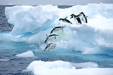 Adelie penguins jumping into sea, Antarctic Peninsula