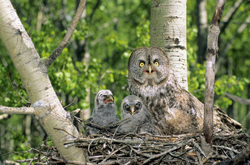 Adult female great gray owl (Strix nebulosa) and two chicks nesting in an abandonned hawk nest, northern Alberta, Canada.