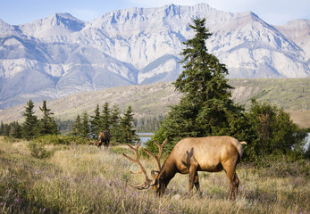 Rocky Mountain Elks grazing in meadow,  Alberta, Canada