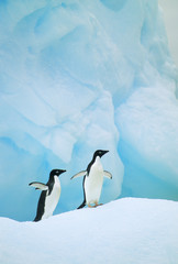 Two Adelie penguins on piece of glacial ice, Antarctic Peninsula