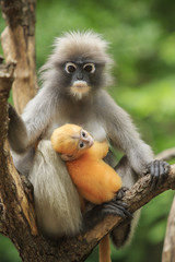 motherhood of Dusky leaf monkey, Dusky langur in southern of tha