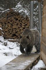 Grizzly Bear (Ursus arctos) near cabin in Ni'iinlii Njik Ecological Reserve, Yukon Territory, Canada