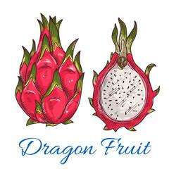 Exotic tropical dragon fruit or pitaya sketch