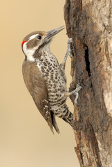 Male Arizona Woodpecker (Picoides arizonae) at Madera Canyon Arizona