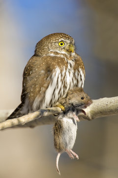 Northern pygmy-owl with meadow vole on branch, Alberta, Canada