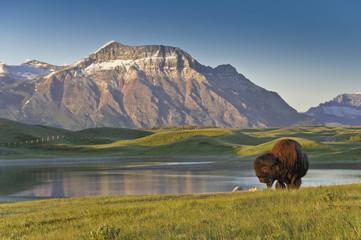 Plains Bison, (Bison bison bison), Waterton Lakes National Park, Alberta, Canada