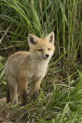 Red fox, Vulpes vulpes, Saskatchewan, Canada