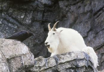 Rocky Mountain Goat and Crow, Calgary Zoo, Calgary, Alberta, Canada.