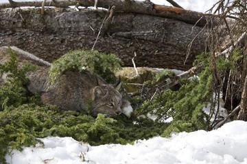 Lynx sitting on pine branches in snow Yukon, Canada