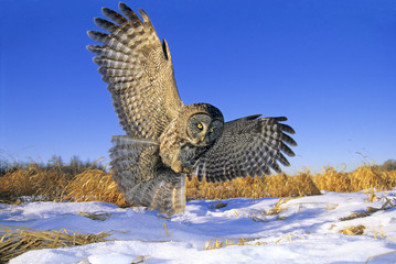 Great gray owl (Strix nebulosa) swooping down on prey hidden under the snow, northern Alberta, Canada