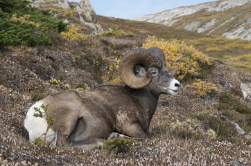 Bighorn Sheep Ram (Ovis canadensis) resting on alpine mountaintop. Jasper National Park, Alberta, Canada.