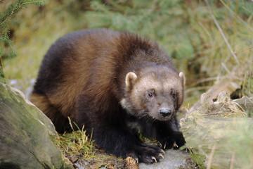 Wolverine (Gulo gulo), northern Alberta