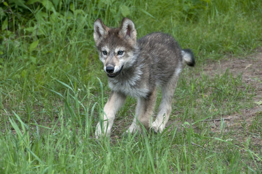 Gray wolf pup running in green summer grasses; Minnesota; (Canis lupus)
