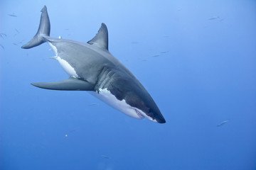 Great white shark (Carcharodon carcharias), Isla Guadalupe, Baja, Mexico
