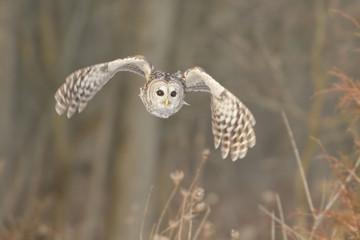Barred Owl (Strix varia) hunting for prey.