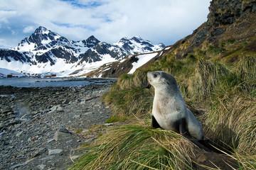 Juvenile Antarctic fur seal (Arctocephalus gazella), Island of South Georgia, Antarctica