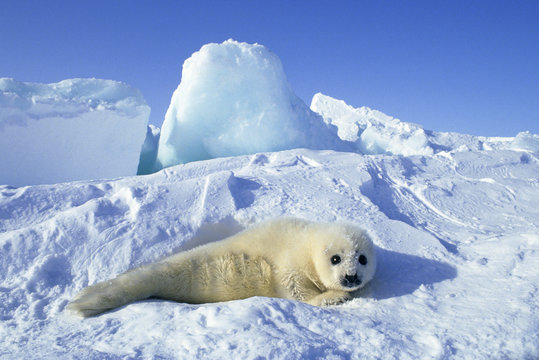 Newborn harp seal (Phoca groenlandica) pup (yellowcoat), Gulf of the St. Lawrence River, Canada.  Natal coat stained yellow by amniotic fluid.