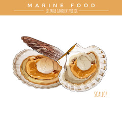 Scallop. Marine Food