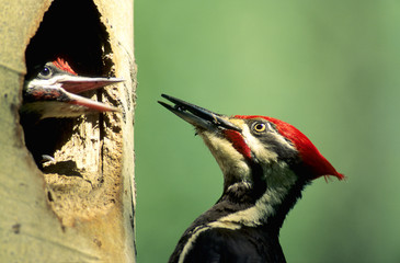 Adult pileated woodpecker (Dryocopus pileatus) feeding carpenter ants to a chick at the nest, northern Alberta, Canada.