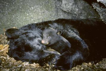 Hibernating mother black bear (Ursus americanus) with three-month old cub.