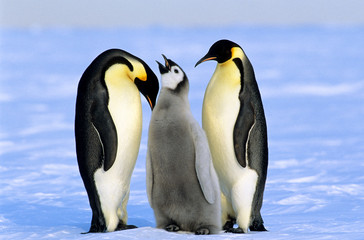 Adult emperor penguins (Aptenodytes forsteri) and chick, Akta Bay colony, 70 Degrees South, Weddell Sea, Antarctica