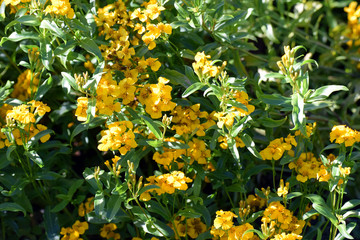 Tagetes lucida flower. Also known as sweetscented marigold, Mexican marigold, Mexican mint marigold, Mexican tarragon, Spanish tarragon, sweet mace, Texas tarragon,