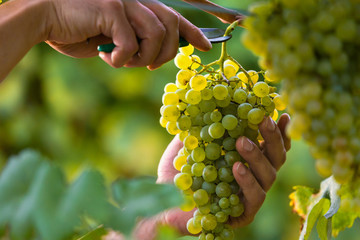 Hands Cutting White Grapes from Vines