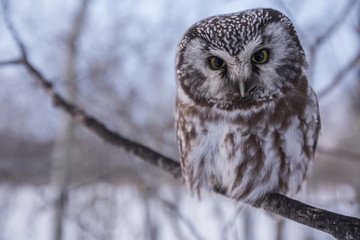 Boreal Owl, Yukon.