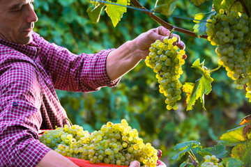 Worker Cutting White Grapes from Vines Fototapete