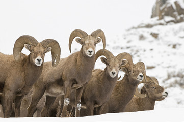 California Bighorm rams standing in snow, British Columbia, Canada