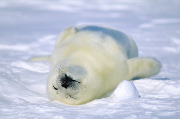 Week-old harp seal (Phoca groenlandica) pup snoozing, Magdalen islands, Quebec, Canada