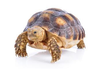 turtle on white background
