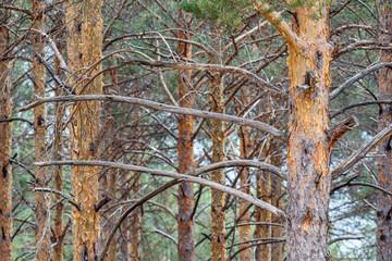 Troncos y ramas de Pino silvestre. Pinus sylvestris. Sierra de la Cabrera, León, España.