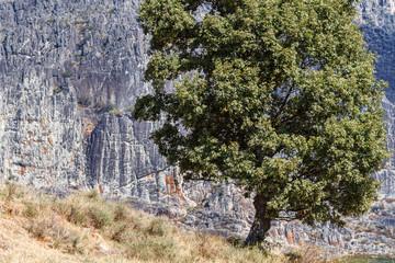 Roble y paredes de roca de Peña Canales. Sierra de la Cabrera, Pozos, León.